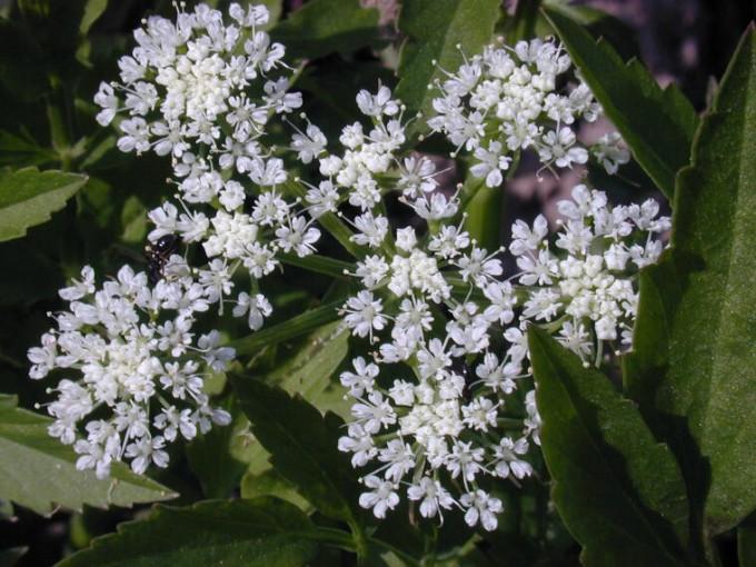 미나리(Dropwort.동의어-잔잎미나리)꽃.jpg