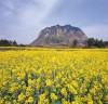 [청로 이용웅 칼럼] 중국의 45色 유채꽃, 유채꽃 꽃말은 [명랑, 기분전환]