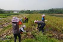 하동 진도면,병환중인 서정마을 마늘재배농가