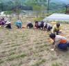 아름다운 산청 철수마을 가꾸기 주민 '구슬땀'