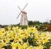 '한여름의 크리스마스', 태안 백합꽃축제 내일 개막!